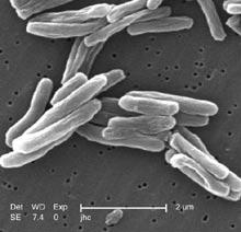 Mycobacterium_tuberculosis